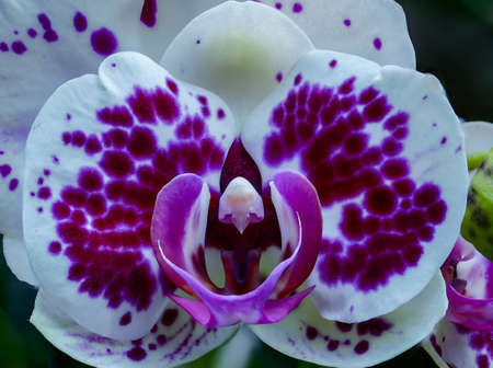 big close-up of a purple withe orchid