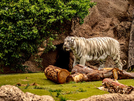 white bengal tiger foraging for food