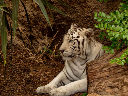 Closeup of a white Bengal Tiger at break