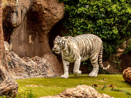 big white bengal tiger foraging for food