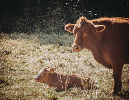 Free range willow cow with her sleeping calf