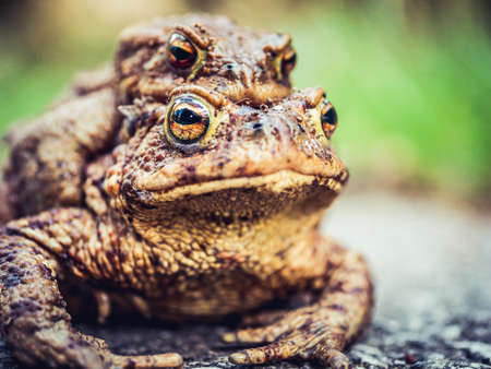 close-up pair of toads on the trail is a model Stok Fotoğraf