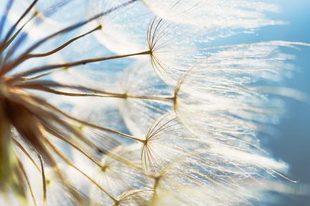blue dandelion: abstract dandelion flower background, closeup with soft focus