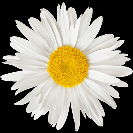 daisy flower: chamomile flower isolated on black background with clipping path Stock Photo