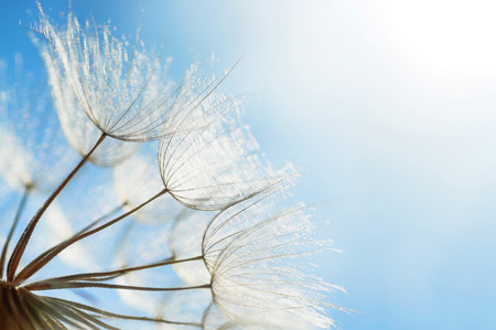 abstract dandelion flower background, closeup with soft focus Reklamní fotografie - 34786706