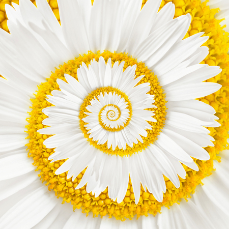 chamomile flower infinity spiral background