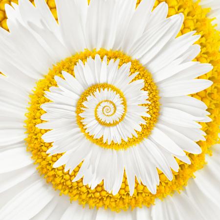 Fleurs de camomille infini spirale fond Banque d'images - 34786764