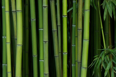 horizontal border: Bamboo Forest. Nature green background