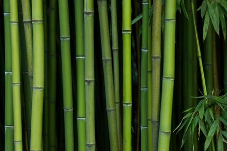 japones bambu: Bosque de bamb�. La naturaleza de fondo verde