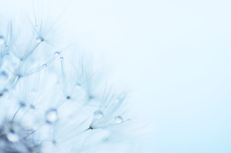 blue dandelion: Blue abstract floral background, closeup of dandelion flowers with dew drops, nature detail, summer time Stock Photo