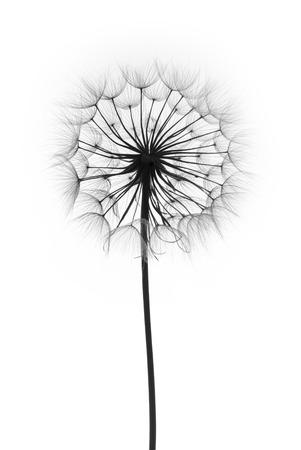 흰색 배경에 민들레 꽃, 실루엣
