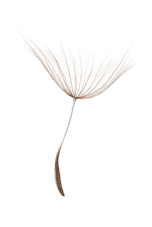 single dandelion seed isolated on white background Banco de Imagens