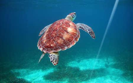 galapagos: Underwater turtle  Galapagos Islands                           Stock Photo