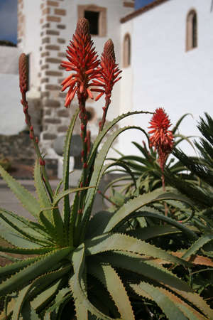 Aloe vera flowers photo