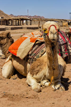 saddle camel: Camel sitting in Egiptian oasis with traditional Bedouin saddle