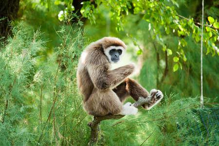 White hands gibbon relaxing