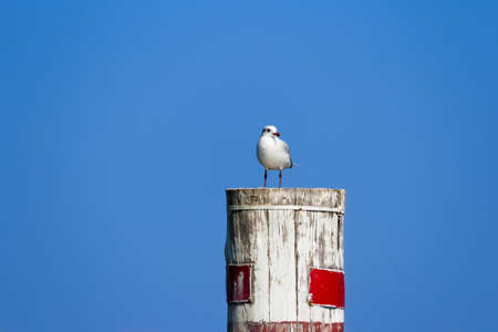 Seagull perched on a wooden dolphin pole Stock Photo
