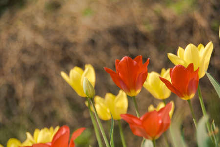 red end yellow tulip flower Stock Photo - 4902897