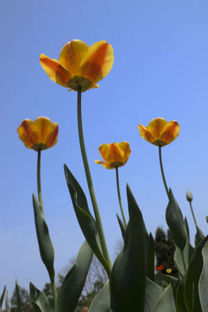 beauty red end yellow tulip flower with green leaves Stock Photo - 4902887