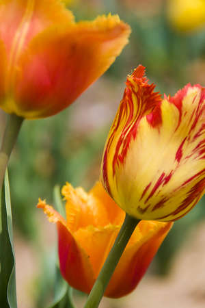 beauty red end yellow tulip flower with green leaves Stock Photo - 4919846
