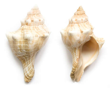 front end: seashell front end back on the white isolated background Stock Photo