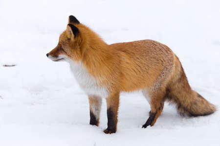 fluffy Red Fox on white snow, winter