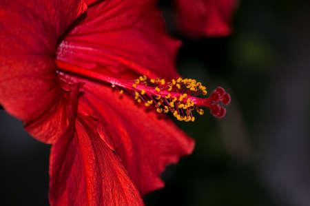 Hibiscus - Malvaceae Stock Photo