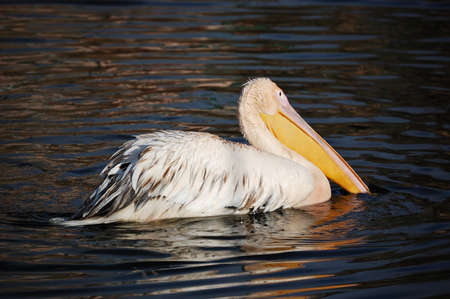 Pelican on the lake at the zoo city of Kharkiv