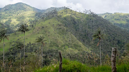 World tallest palm trees at Cocora valley, Salento, Colombia