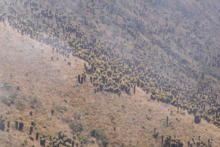 A forest of Frailejones, an endangered and protected flora in the Nevado del Ruiz National Park, Colombia