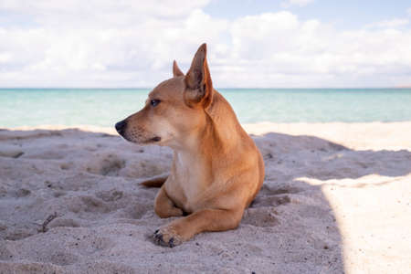 Small brown jack russell terrier laying on idyllic beach at Baja California, Mexico