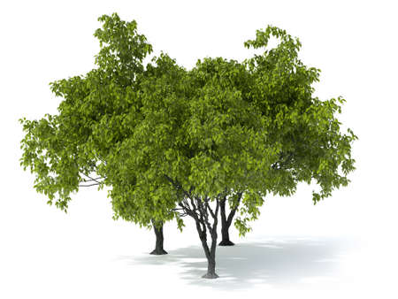 deciduous tree: isolated deciduous tree on a white background