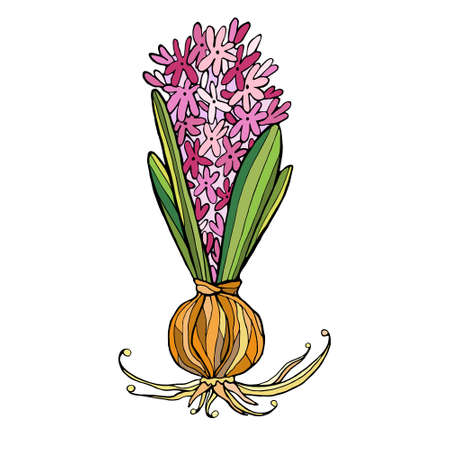 Pink vector hyacinth flower isolated on white.