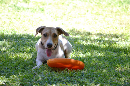 jack russel: Jack russel playing with a frisbee in the garden Stock Photo
