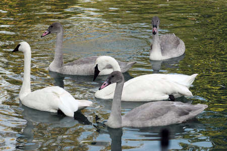 A group of grey and white Trumpet Swans swimming in a lake photo