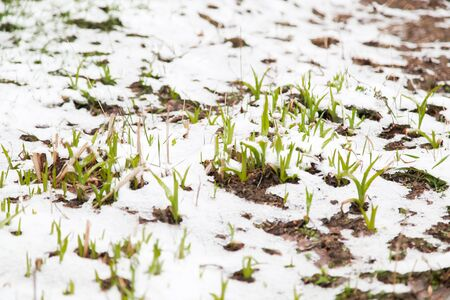 Young green plants sprout from the earth on snow in the spring