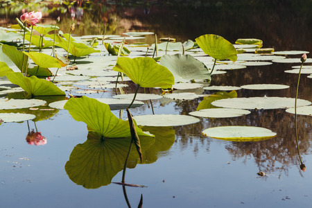 The lake of lotuses, flowers and leaves with reflection in water, horizontal
