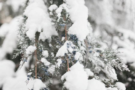 The branch of a coniferous tree covered with fluffy white snow in the winter Banco de Imagens