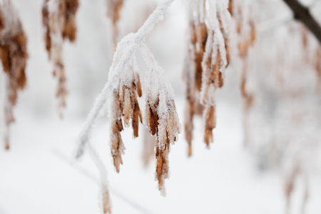 The tree branch covered with ice and snow in the winter. In soft focus, a close up Banco de Imagens