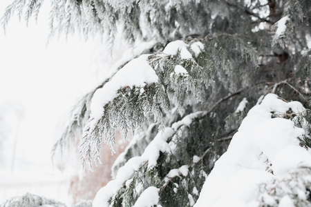 The branch of a coniferous tree on which lies white snow in the winter