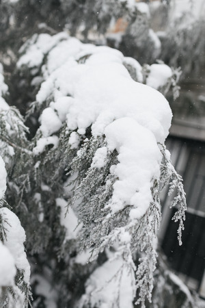 The branch of a coniferous tree covered with white snow in the winter