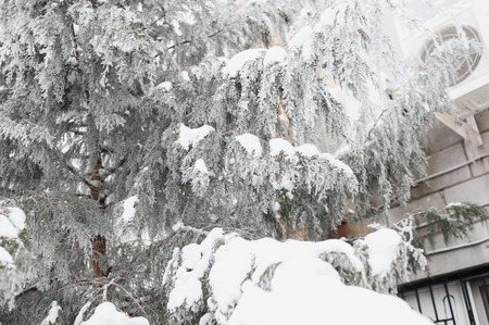 Coniferous tree covered with snow near the house in the winter