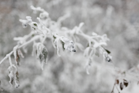 The bush branch covered with hoarfrost and snow in the winter. In soft focus