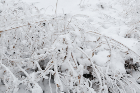 The bush covered with hoarfrost, white snow in the winter Banco de Imagens