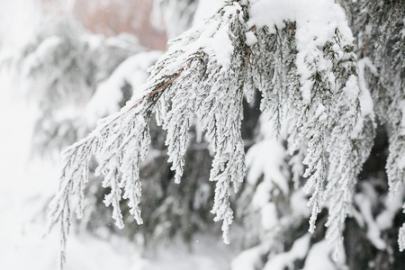 The branch of a coniferous tree on which lies white snow