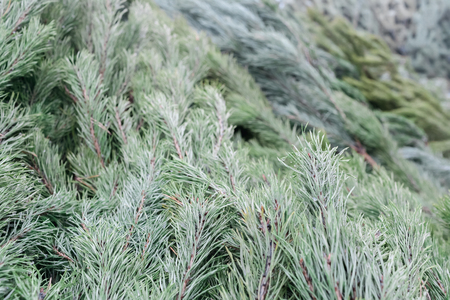 Background from green fir-trees of a coniferous tree lie next to each other