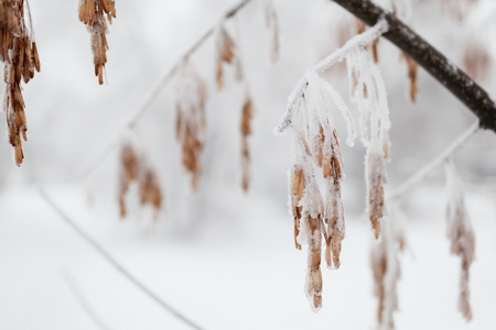 The tree branch covered with hoarfrost and snow in the winter. In soft focus, a close up