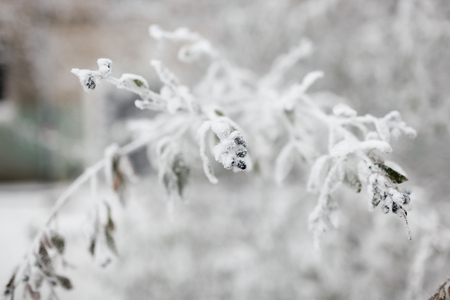 The bush branch covered with hoarfrost and snow in the winter. In soft focus, a close up Banco de Imagens