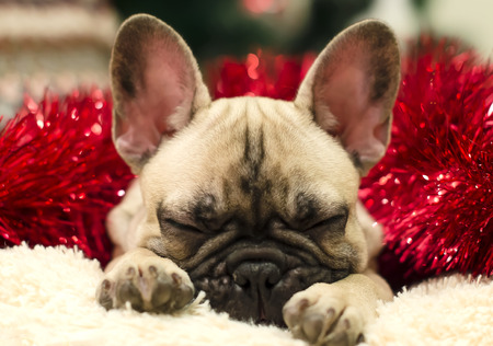 Cute bulldog puppy sleeping on a pillow on a background of red tinsel. New Year. Christmas.