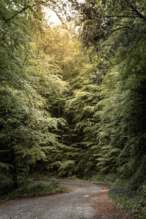I walk in the middle of a beech forest Banco de Imagens